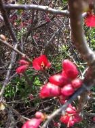 Blossom buds