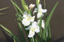 White Iris (maybe)