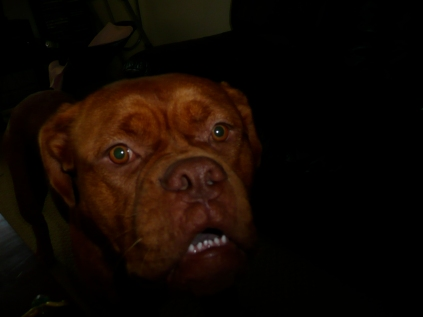 Dogue in the dark