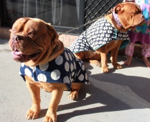 Dougues in Coats (dog coats)