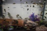 Mr10s Crimson Tides (cichlid family)