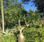 Mt Coot-tha BotanicGardens.